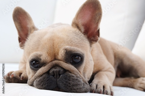 Close-Up Portrait Of Dog Lying Down On Bed At Home - fototapety na wymiar