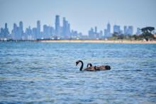 Wild Swans Swimming Near Brighton Beach Huts, Melbourne.