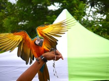 Cropped Hand Holding Macaw Against Tent