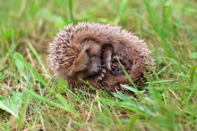 The Hedgehog Curled Up In A Ba...