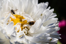 White Aster Flower With A Yellow Middle.  A Bee Sits On A Large White Flower.