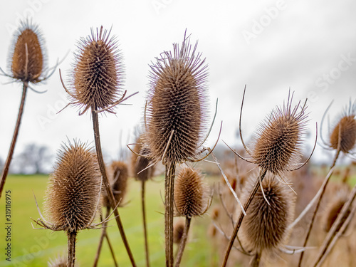 Photo Selective focus on teasels in the English countryside