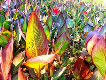 Canna Flowers Plant In The Gar...