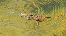 Toad Frog Swimming In Clear Wa...
