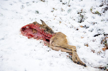 Dead Corpse Cadaver Of A Deer ...