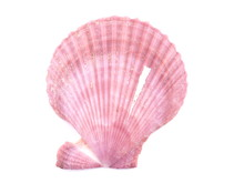 Clam Shell On A White Background