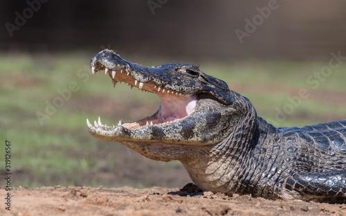 Close-Up Of Crocodile On Field Fototapet