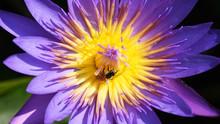 The Purple Lotus Has A Small B...