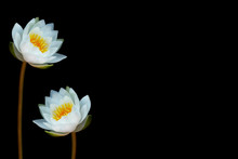 Flower Water Lily Isolated On ...