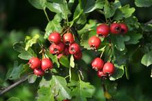 Ripened Hawthorn Berries