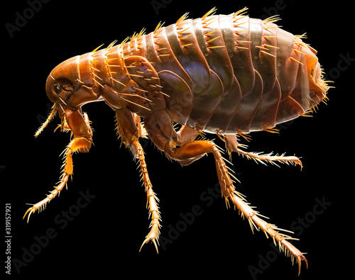 Full medically accurate isolated Model of a Flea Fototapete