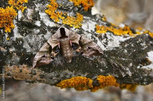 Obraz na plátně Eyed Hawk Moth Smerinthus ocellata