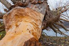 A Tree Cut Down By A Beaver Ne...