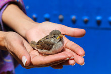 A Girl Holds A Young Sparrow I...