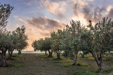 Olive Trees Orchard In Nubia V...