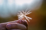 Fototapeta Dmuchawce - Close-Up Of Hand Holding Dandelion