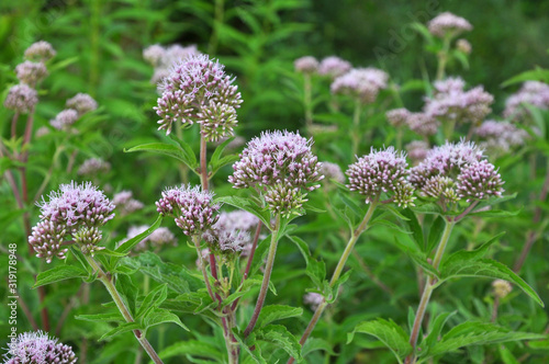 Photo It blooms in nature hemp agrimony (Eupatorium cannabinum)