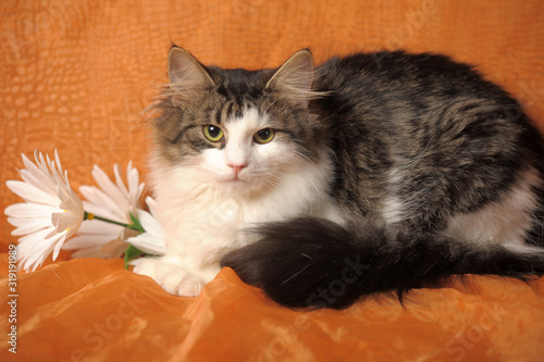 Photo beautiful fluffy Norwegian forest cat and daisies on an orange background