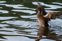 Mallard Duck Flapping Wings In Lake