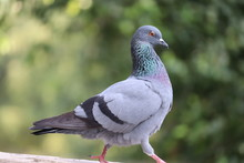 Waking On Rock Side View Pigeon