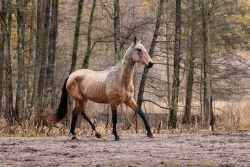 Elegant buckskin akhal teke breed mare running in trot in the field near trees. Animal in motion.
