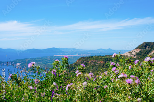 Fotografering Pink cardoon flowers in the Sardinian coast