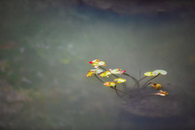 Flowers In A Pond In China