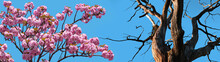 Blooming Sakura Tree And An O...