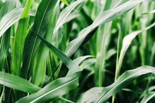 Obraz Sorghum × drummondii or sudan grass plantation - fototapety do salonu