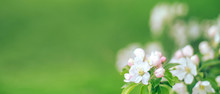 Banner With Flowering Apple Tr...