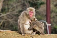 Japanese Monkey 5