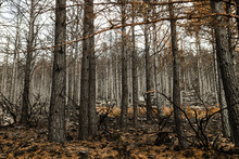 Pine Trees Plantation After A ...