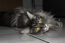 Graue Katze Auf Boden