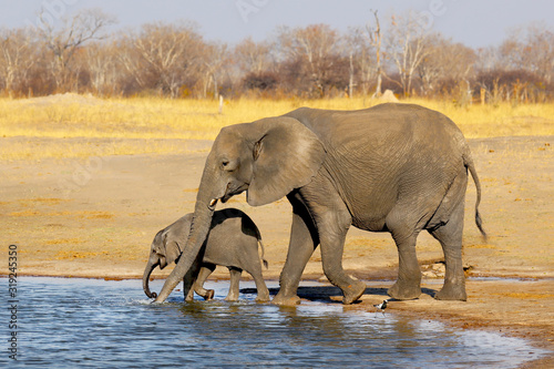 Mother Elephant and baby elephant drinking water Wallpaper Mural