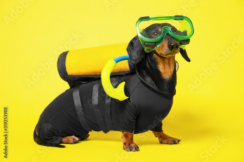 Fototapeta Cute black and tan dachshund sits wearing scuba diving costume and mask and gear on a yellow background obraz