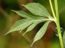 Rudbeckia Laciniata Or Cutleaf...