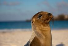 Galapagos Sea Lion Looking At ...