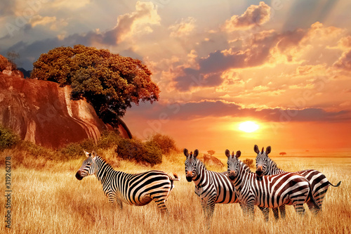 Fototapeta Zebras in the African savanna against the backdrop of beautiful sunset. Serengeti National Park. Tanzania. Africa. obraz