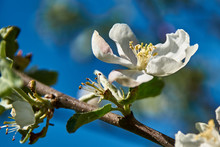 Snow-white Apple Blossoms In Early Spring Against A Blue Sky