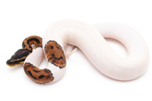 Ball Python Snake Macro Closeup Isolated White Background