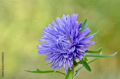 The astra flower is purple slightly unopened on a green background Canvas Print