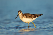 Common Greenshank Wading In A ...
