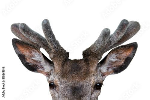 Close up of red deer stag (Cervus elaphus) with antlers covered in velvet in spr Canvas Print