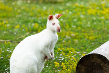 Albino Wallaby Standing By Log...