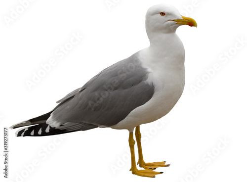 White and grey seagull isolated on white Fototapeta