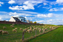 Flock Of Sheep At The Lower Rh...
