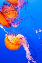 Vertical Shot Of Bright Orange Nettle Jellyfishes Swimming In The Sea