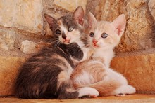Closeup Of Two Young Cats Cudd...