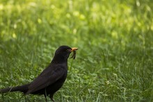 Beautiful Shot Of A Black Bird Standing On The Ground With A Worm In Its Beak