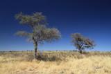 Fototapeta Sawanna - afrykańskie drzewa stojące wśród wyschniętych traw na sawannie w porze suchej